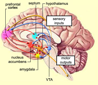 The brain from top to bottom the lateral and ventromedial nuclei of the hypothalamus are especially involved in this reward circuit ccuart Images