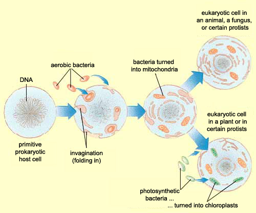 endosymbiosis hypothesis Endosymbiotic theory designates a class of hypotheses that view various organelles in eukaryotic cells as descendants of endosymbionts, whereby the term endosym.