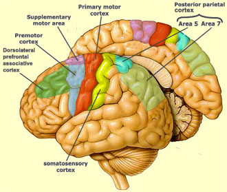 The brain from top to bottom the motor cortex also includes area 6 which lies rostrally to area 4 and is divided into the premotor area or premotor cortex and the supplementary motor ccuart Image collections
