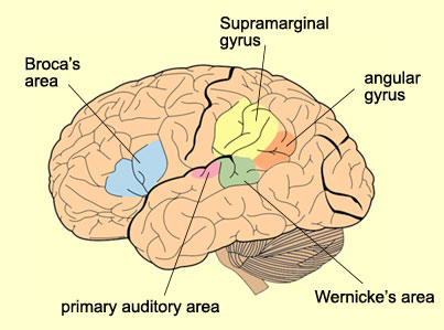 the supramarginal gyrus seems to be involved in phonological and articulatory processing of words whereas the angular gyrus together with the posterior