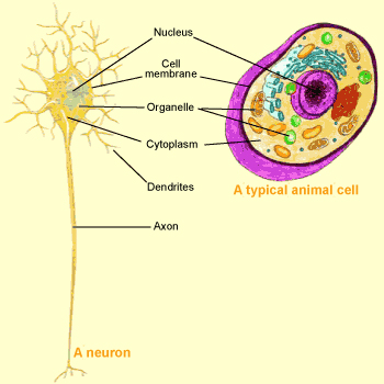 The brain from top to bottom this axon carries information away from the neurons cell body toward other neurons with which it makes connections called synapses ccuart Choice Image