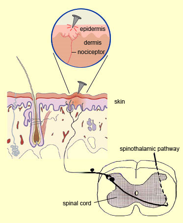 Adrenergic Agonists Antagonists moreover D 03 m dou further Anatomy Of Meninges Ventricles Cerebrospinal Fluid likewise Mesh info also Structure And Function Pituitary Gland. on location of blood vessels in brain