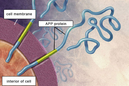 Beta Amyloid Plaques >> THE BRAIN FROM TOP TO BOTTOM