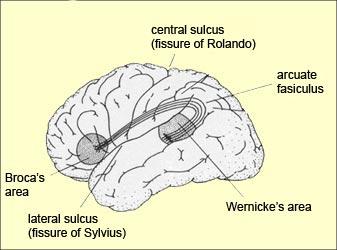Partes del cerebro involucradas en el lenguaje articulado (Fuente: thebrain.mcgill.ca)