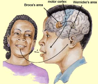 broca and wernicke Human brain: language impairment damage to either the broca area or the wernicke area in the left hemisphere of the brain can result in.