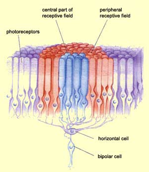 the brain from top to bottom Blind Spot Diagram directly from the photoreceptors to the bipolar cell, and a peripheral receptive field composed of information that arrives via the horizontal cells