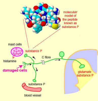 the role of 17 beta hydroxysteroid dehydrogenases