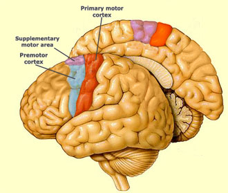 The brain from top to bottom for Le cerveau en miroir