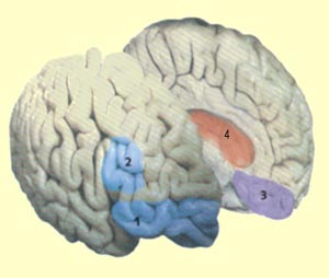 the brain from top to bottom