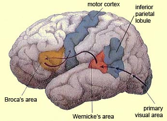 The brain from top to bottom the inferior parietal lobule of the left hemisphere lies at a key location in the brain at the junction of the auditory visual and somatosensory cortexes ccuart Images