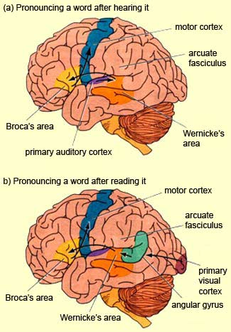The brain from top to bottom ccuart Image collections